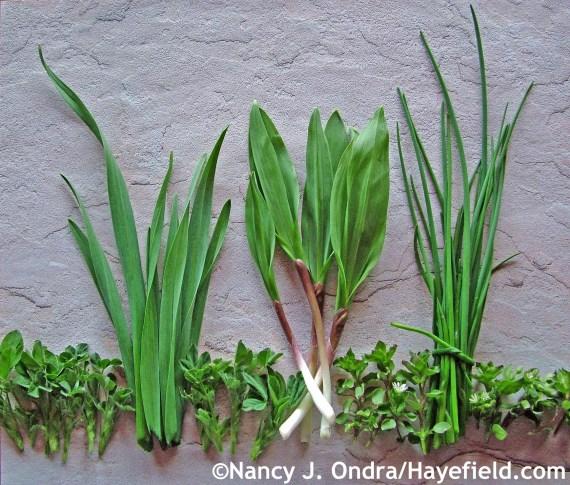 Alfalfa tips, garlic greens, ramps, chickweed tips, and chives at Hayefield.com