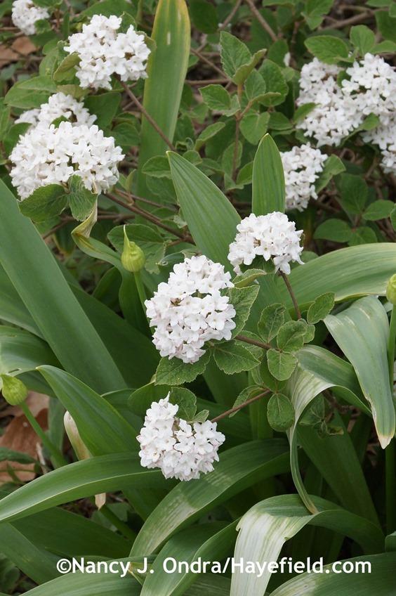 Dwarf Koreanspice viburnum (Viburnum carlesii 'Compactum') at Hayefield.com