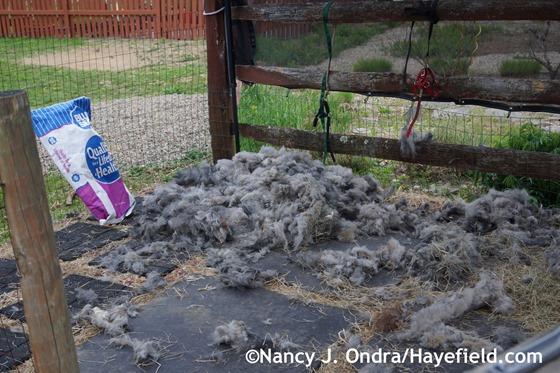 Alpaca Shearing - The Aftermath at Hayefield.com
