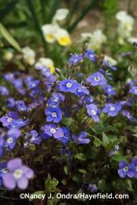 Veronica repens 'Big Blue' at Hayefield.com