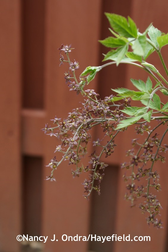 Yellowroot (Xanthorhiza simplicissima) at Hayefield.com
