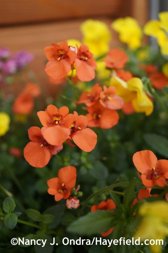 Flirtation Orange twinspur (Diascia 'Dala Oran') at Hayefield.com