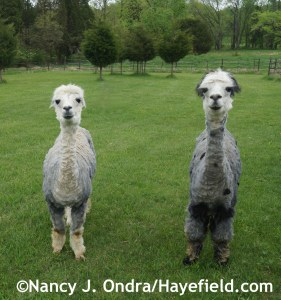 Alpacas Daniel and Duncan after shearing at Hayefield.com