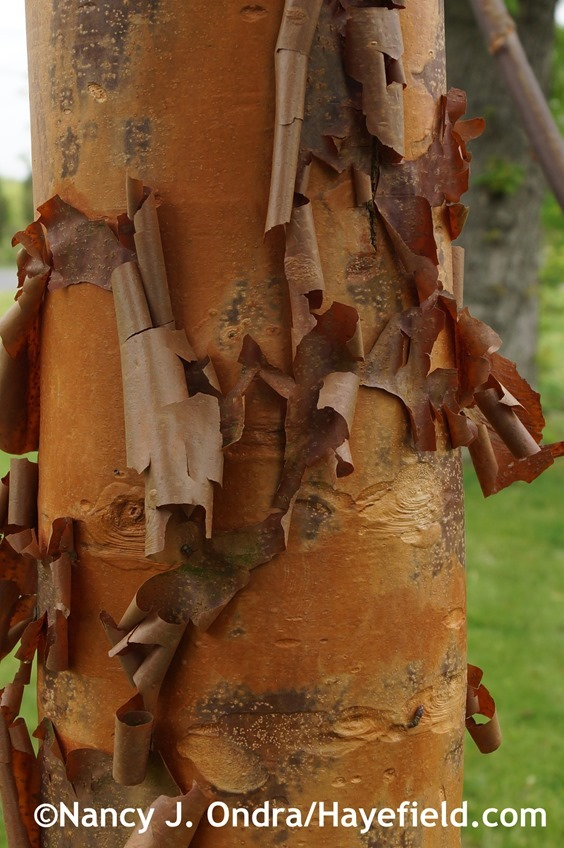 Paperbark maple (Acer griseum) trunk at Hayefield.com