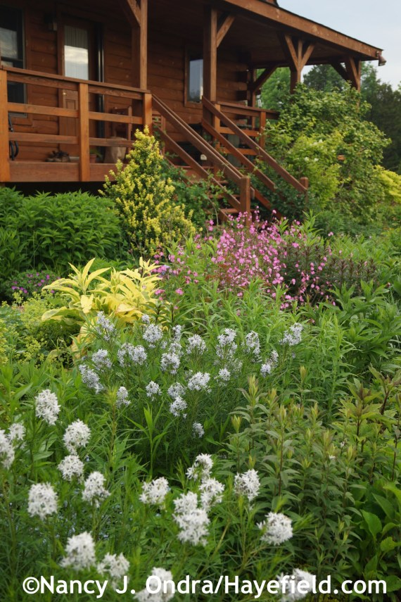 Side Garden with Arkansas bluestar (Amsonia hubrichtii), 'Axminster Gold' comfrey (Symphytum x uplandicum), red campion (Silene dioica), and 'Latifolia Maculata' boxwood (Buxus sempervirens) [late May 2014] at Hayefield.com