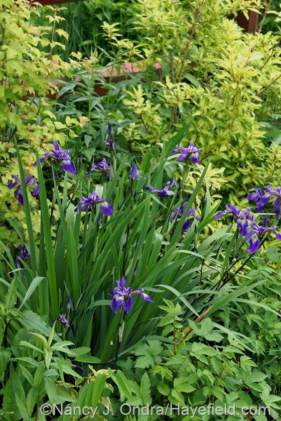 Iris x robusta 'Gerald Darby' with 'Fiesta' forsythia and golden elderberry (Viburnum opulus 'Aureum') at Hayefield.com