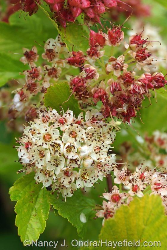 'Dart's Gold' ninebark (Physocarpus opulifolius) flowers at Hayefield.com