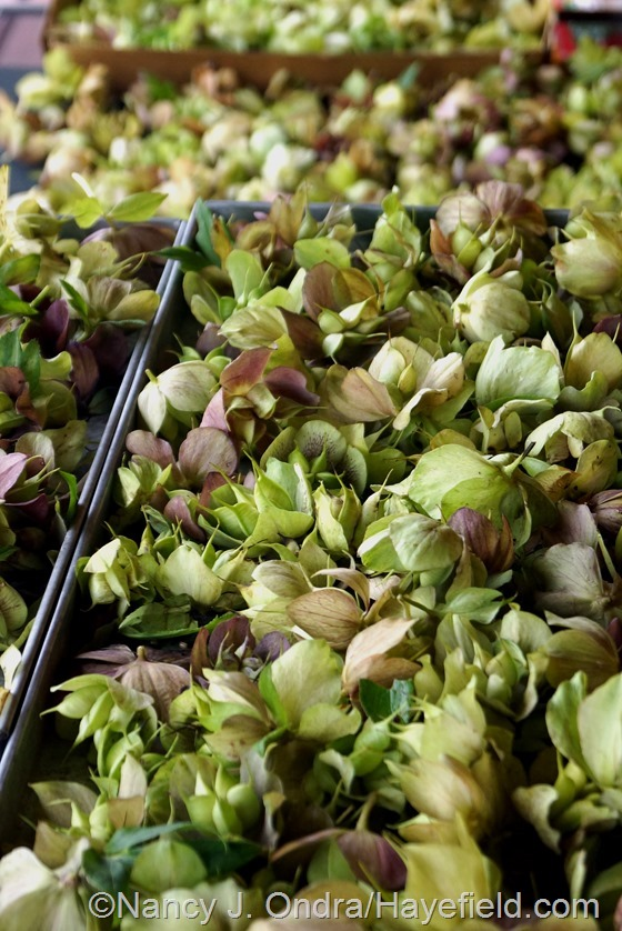 Helleborus x hybridus Hayefield Hybrids seedheads