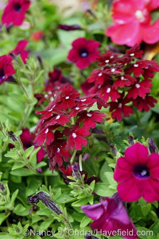 Verbena 'Vivid Zinfandel' with Petunia 'Blanket Zinfandel' at Hayefield.com