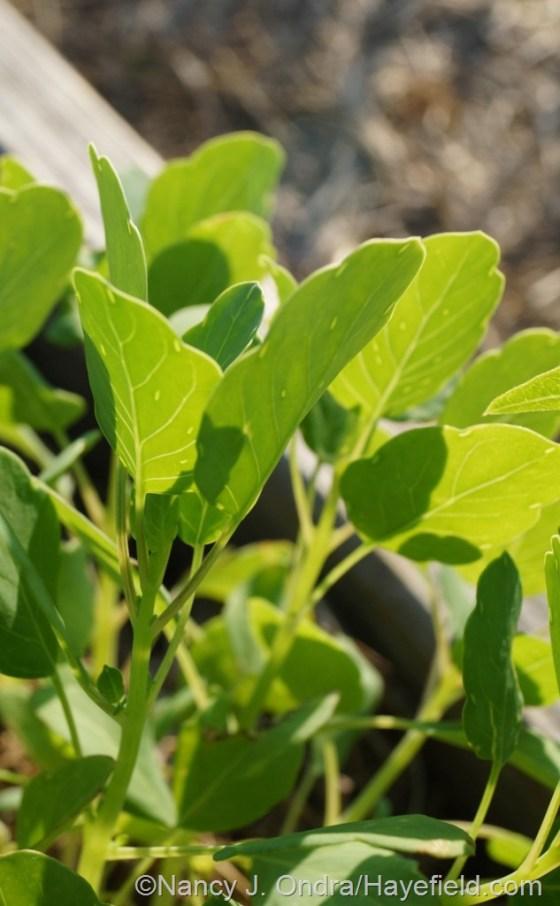 Papalo or summer cilantro (Porophyllum ruderale) [July 10, 2014] at Hayefield.com