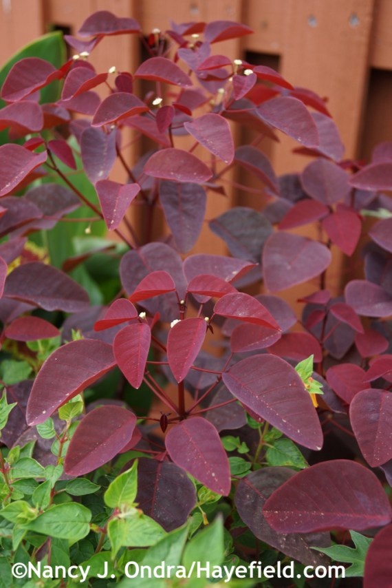 Caribbean copper plant (Euphorbia cotinifolia) at Hayefield.com