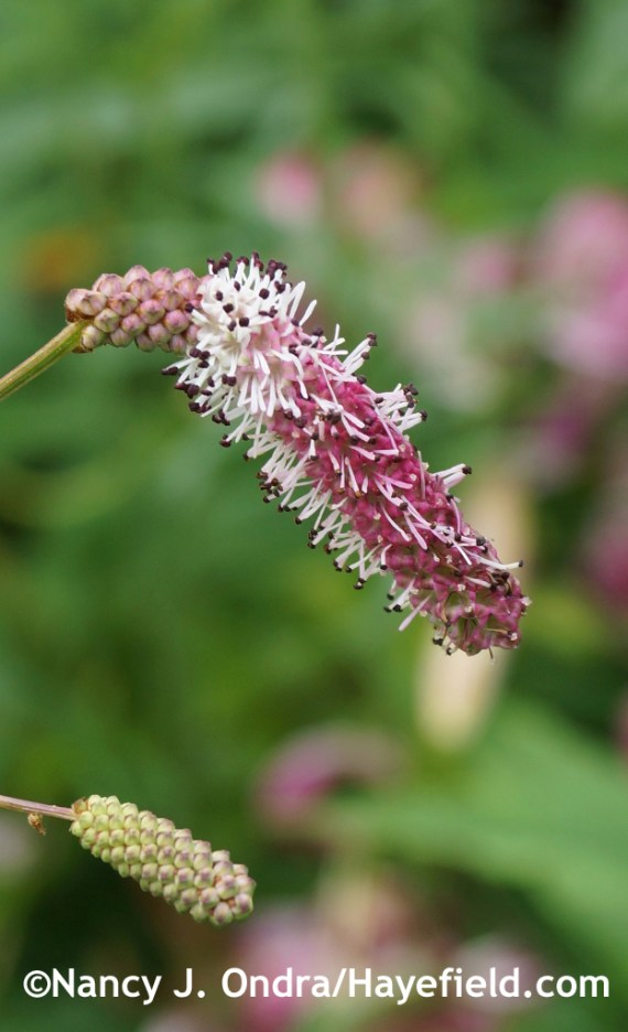 A pink-flowered seedling of Sanguisorba tenuifolia at Hayefield.com