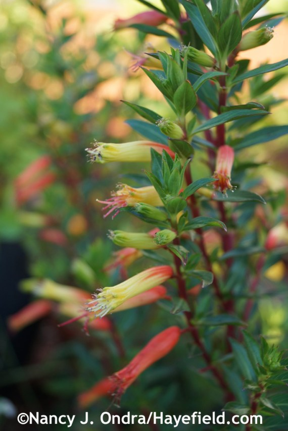 Candy corn plant (Cuphea micropetala) at Hayefield.com
