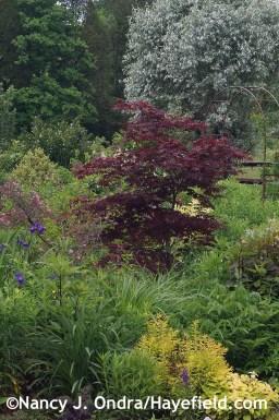 Acer palmatum at Hayefield.com