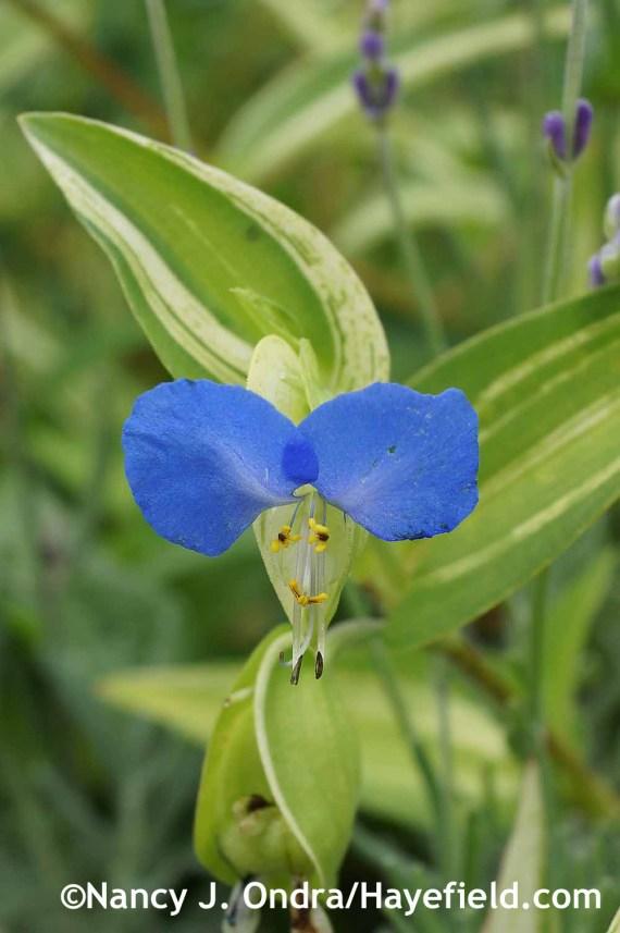 Commelina communis f. aureostriata at Hayefield.com