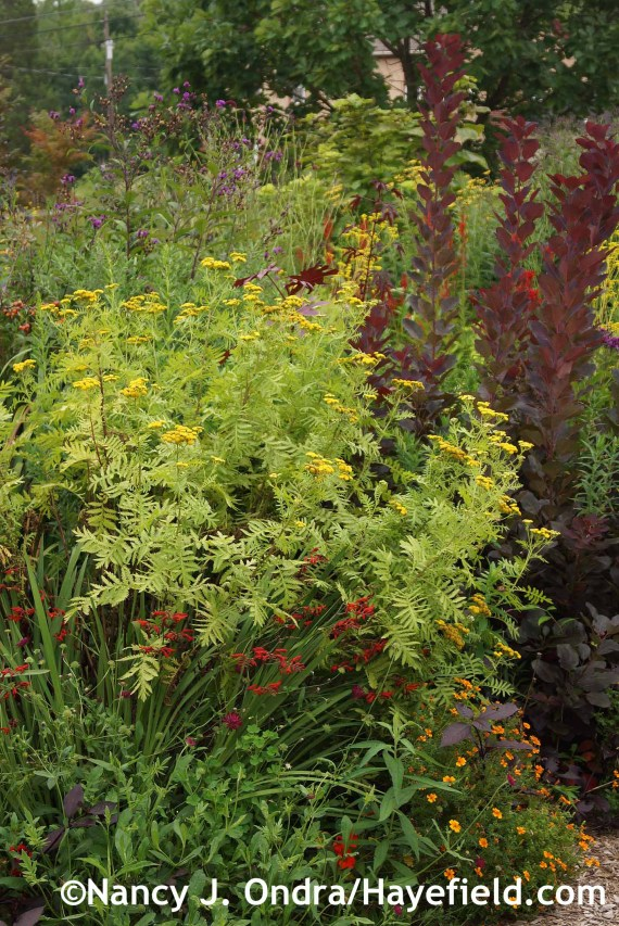 Tanacetum vulgare Isla Gold at Hayefield.com
