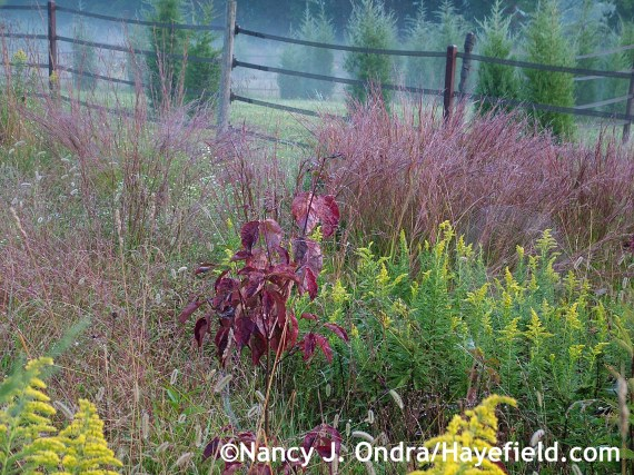 Cornus florida seedling 2011 at Hayefield.com