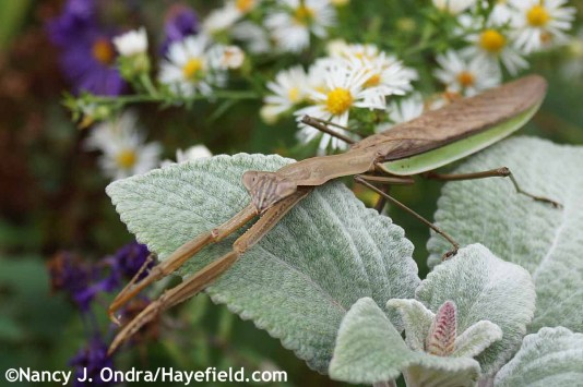Praying Mantis at Hayefield.com