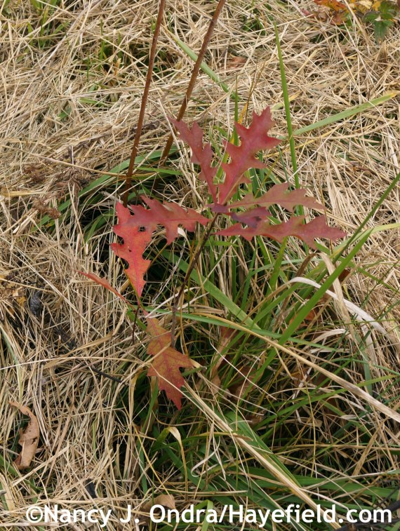 Quercus seedling in the meadow at Hayefield.com