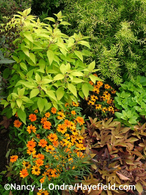 'Golden Delicious' pineapple sage (Salvia elegans) with 'Profusion Orange' zinnia, 'Sweet Caroline Bronze' sweet potato vine (Ipomoea batatas), 'All Gold' lemon balm (Melissa officinalis), and Mellow Yellow spirea (Spiraea thunbergii 'Ogon') at Hayefield.com