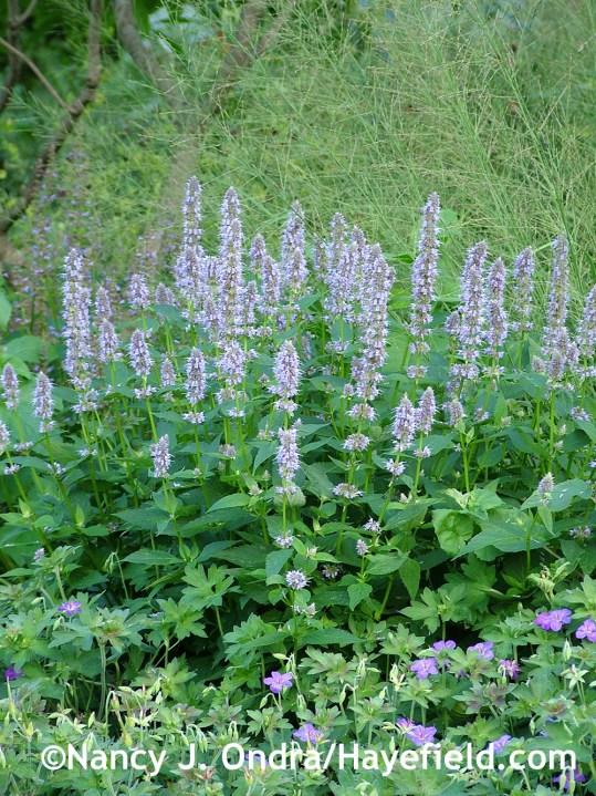 'Blue Fortune' anise hyssop (Agastache) with Geranium wlassovianum and 'Skyracer' purple moor grass (Molinia caerulea) at Hayefield.com