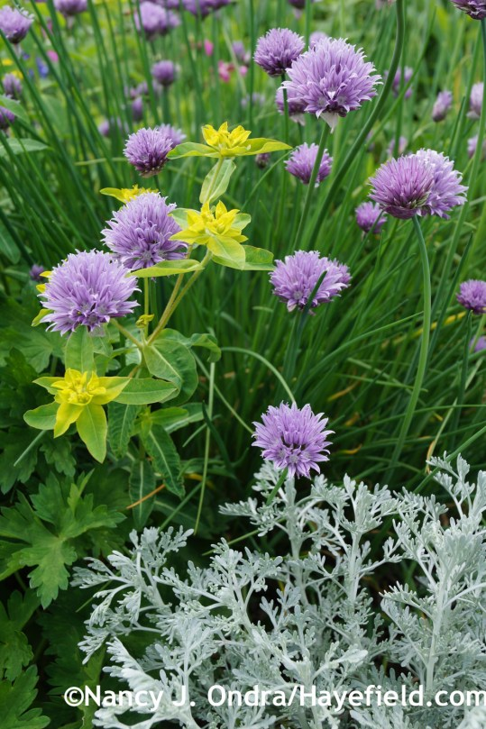 Common chives with 'Parfum d'Ethiopia' wormwood (Artemisia) and Euphorbia oblongata at Hayefield.com