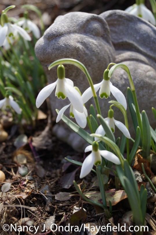 Snowdrops (Galanthus nivalis) at Hayefield