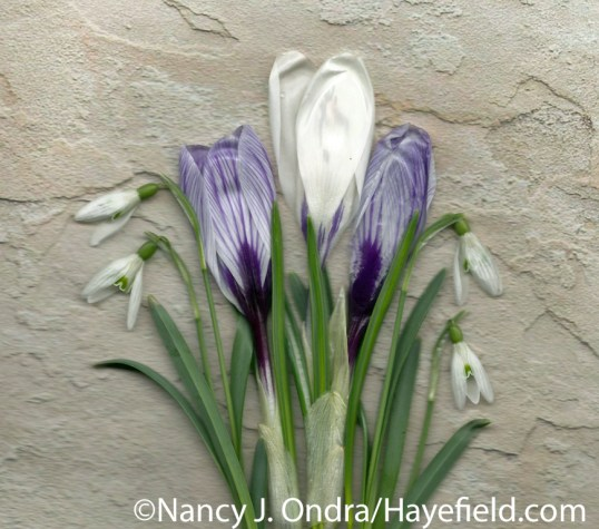 'Pickwick' and 'Silver Coral' crocus (Crocus vernus) with snowdrops (Galanthus nivalis) at Hayefield.com
