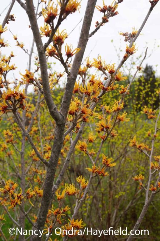 Hamamelis x intermedia Orange Encore at Hayefield.com