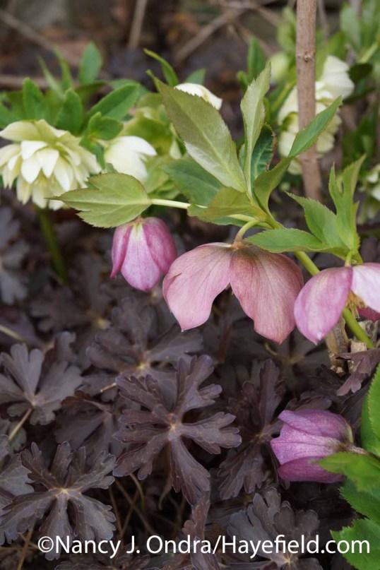 Helleborus x hybridus with Geranium maculatum Espresso at Hayefield.com