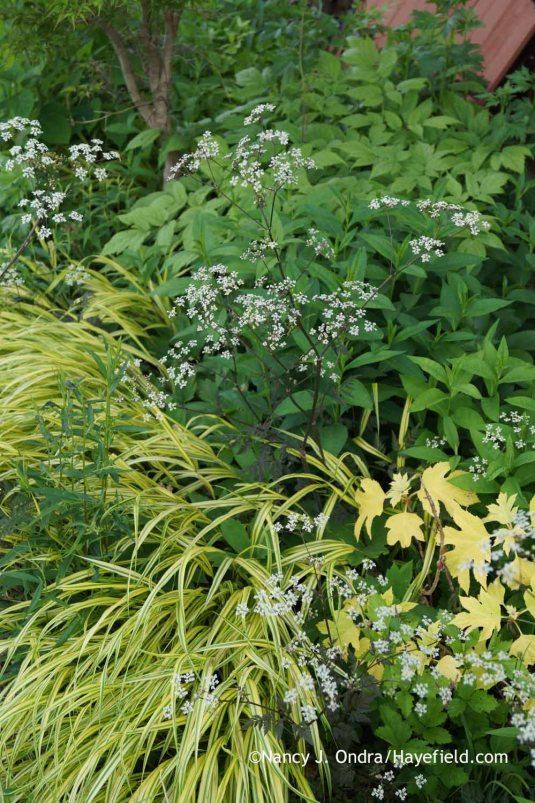 Anthriscus sylvestris 'Ravenswing' with Hakonechloa macra 'Aureola' and Hydrangea quercifolia 'Little Honey' at Hayefield.com