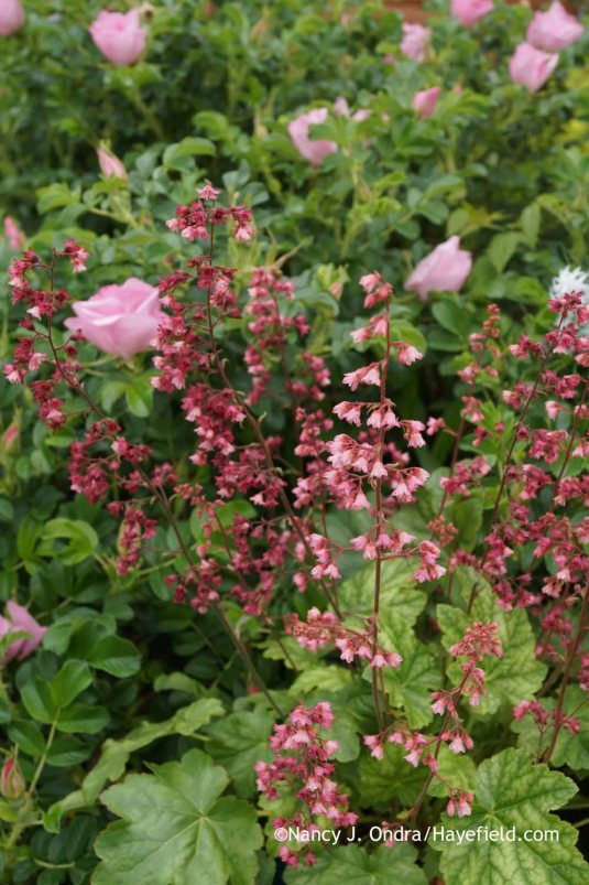 Heuchera 'Berry Timeless' with Rosa 'Frau Dagmar Hastrup' at Hayefield.com