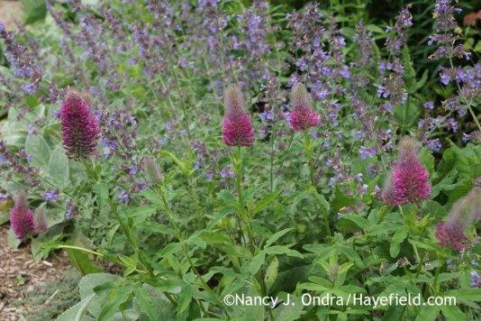 Trifolium rubens at Hayefield.com