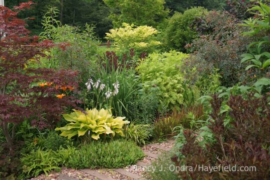 From left to right, Acer palmatum, Carex plantaginea, Persicaria affine 'Dimity', Hosta 'Sun Power', Lilium 'Orange County', Vernonia noveboracensis, Sambucus nigra 'Aurea', Cotinus coggygria 'Royal Purple', Iris 'Gerald Darby', Solidago shortii 'Solar Cascade', Tanacetum vulgare 'Isla Gold', Imperata cyllindrica 'Rubra', Rosa glauca, and Weigela florida 'Alexandra' [Wine and Roses] in the Front Garden at Hayefield; Nancy J. Ondra