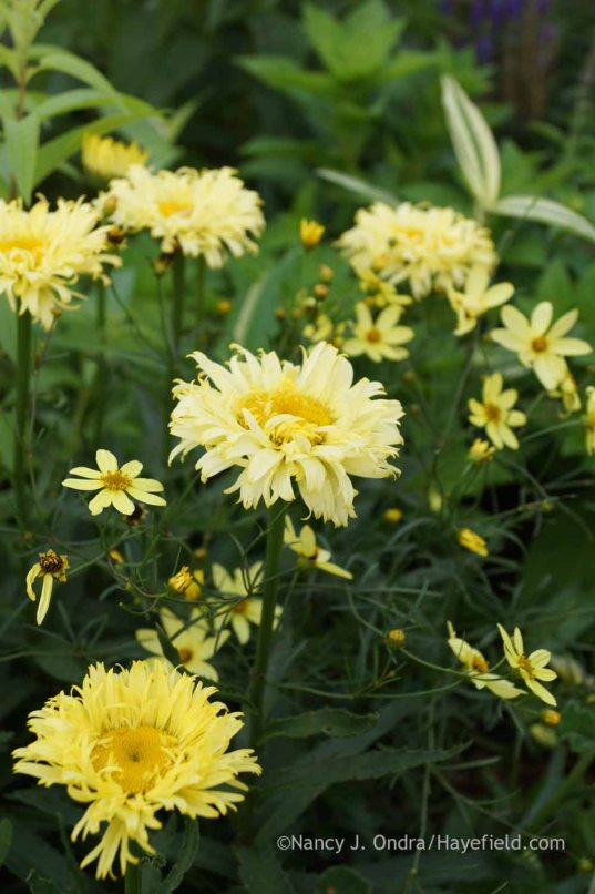 Leucanthemum 'Goldfinch' with Coreopsis verticillata 'Moonbeam'; Nancy J. Ondra at Hayefield