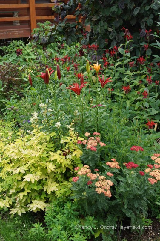 Lilium 'Monte Negro' with Achillea 'Strawberry Seduction', Filipendula ulmaria 'Aurea', Monarda 'Jacob Cline', and Corylus avellana 'Red Majestic'; Nancy J. Ondra at Hayefield