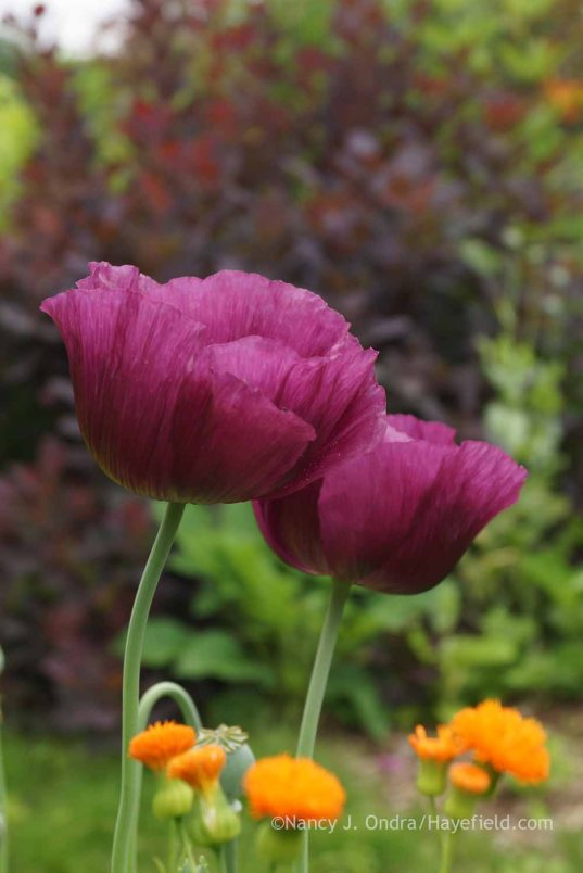 Papaver' Lauren's Grape' with Emilia javanica 'Irish Poet'; Nancy J. Ondra at Hayefield