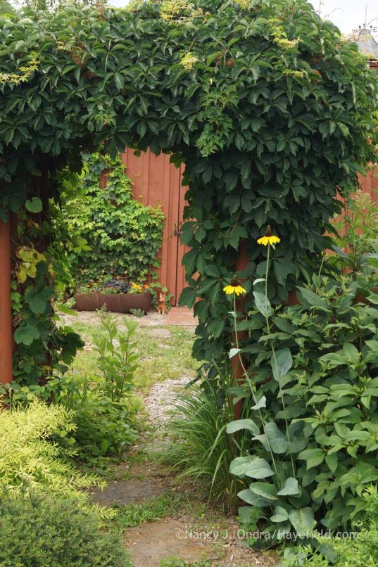 Parthenocissus quinquefolia with Rudbeckia maxima; Nancy J. Ondra at Hayefield