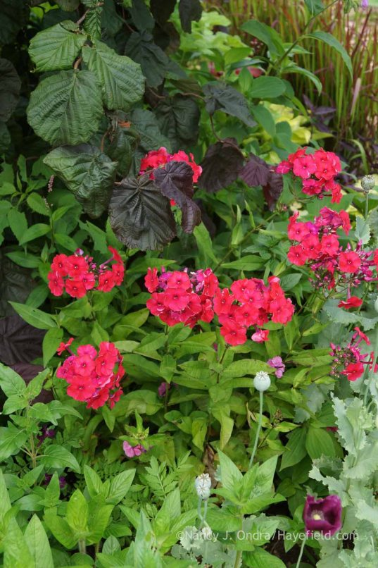 Phlox paniculata 'Peacock Cherry Red' with Corylus avellana 'Red Majestic'; Nancy J. Ondra at Hayefield