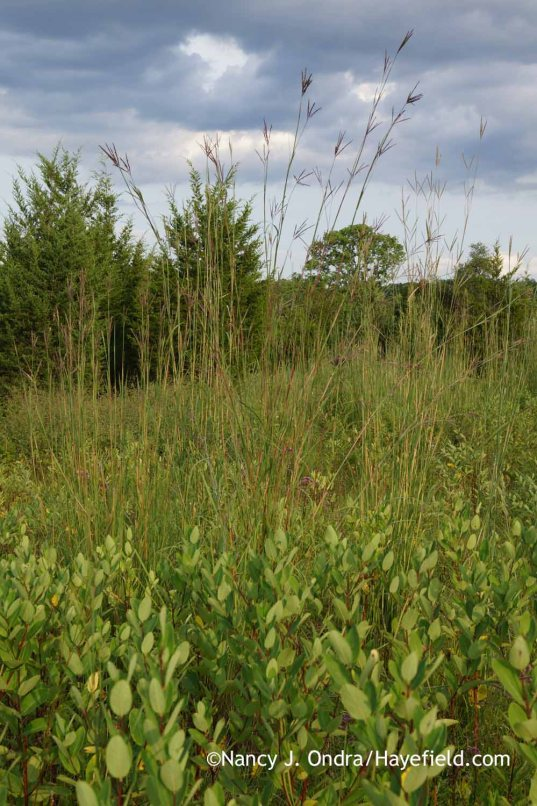 Andropogon gerardii above Apocynum cannabinum in the meadow; Nancy J. Ondra at Hayefield