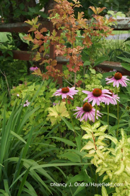 Echinacea purpurea with Viburnum opulus Aureum and Forsythia Fiesta; Nancy J. Ondra at Hayefield