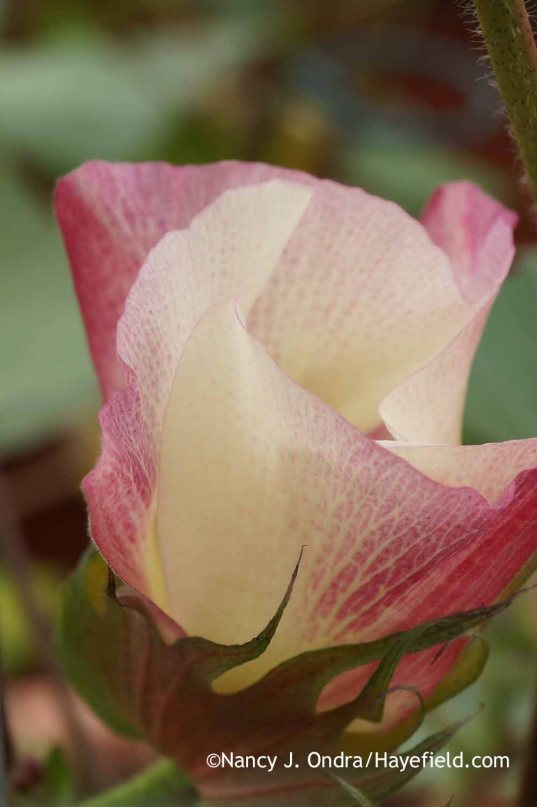 Gossypium 'Red Beauty bloom; Nancy J. Ondra at Hayefield