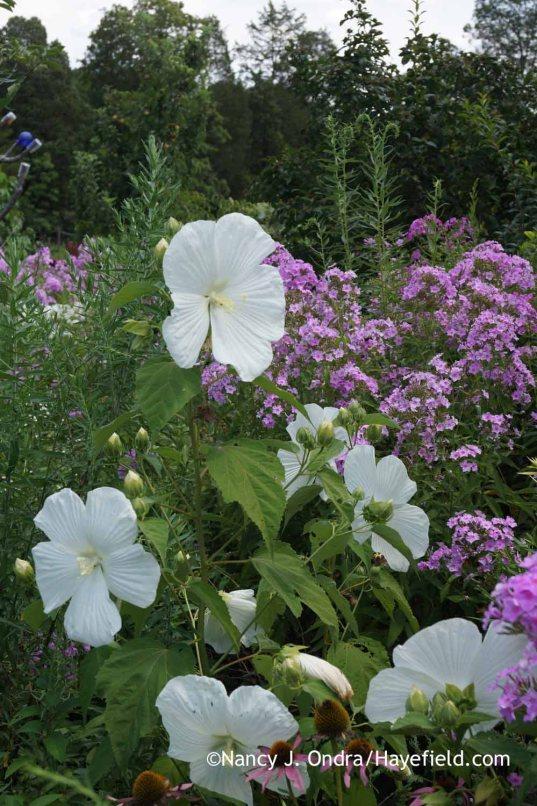 Hibiscus Blue River II with Phlox paniculata; Nancy J. Ondra at Hayefield