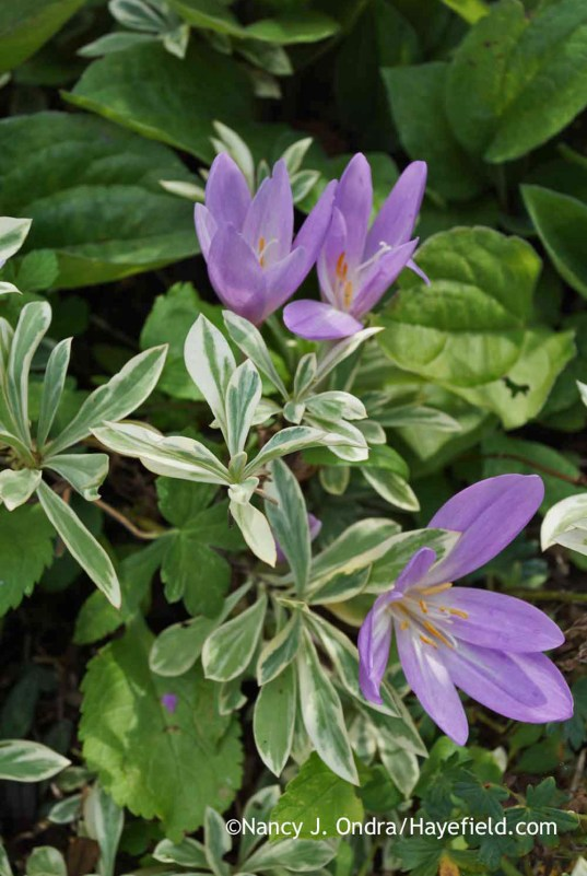 Colchicum 'Nancy Lindsey' with Phlox glaberrima 'Triple Play'; Nancy J. Ondra at Hayefield