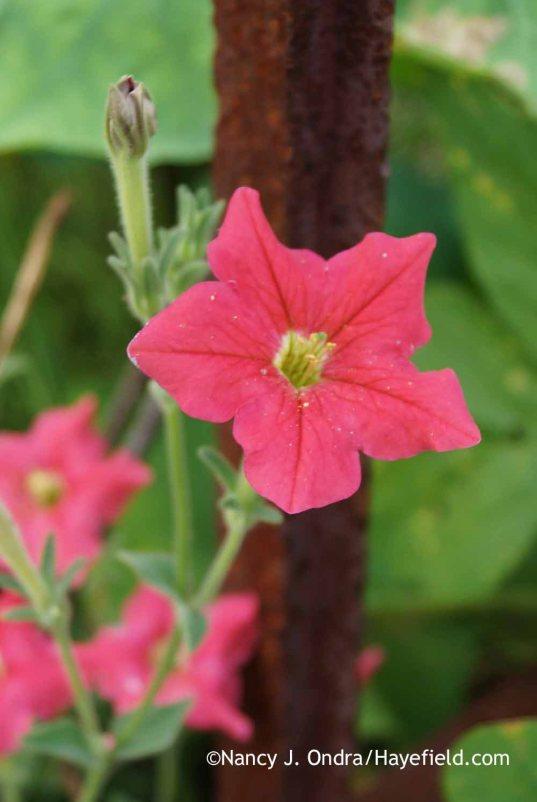 Petunia exserta; Nancy J. Ondra at Hayefield