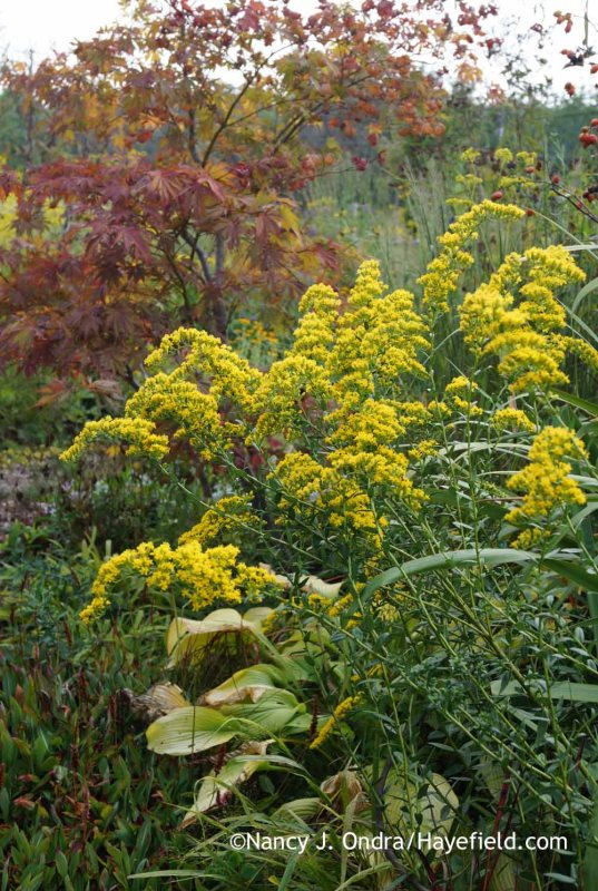 Solidago shortii 'Solar Cascade'; Nancy J. Ondra at Hayefield
