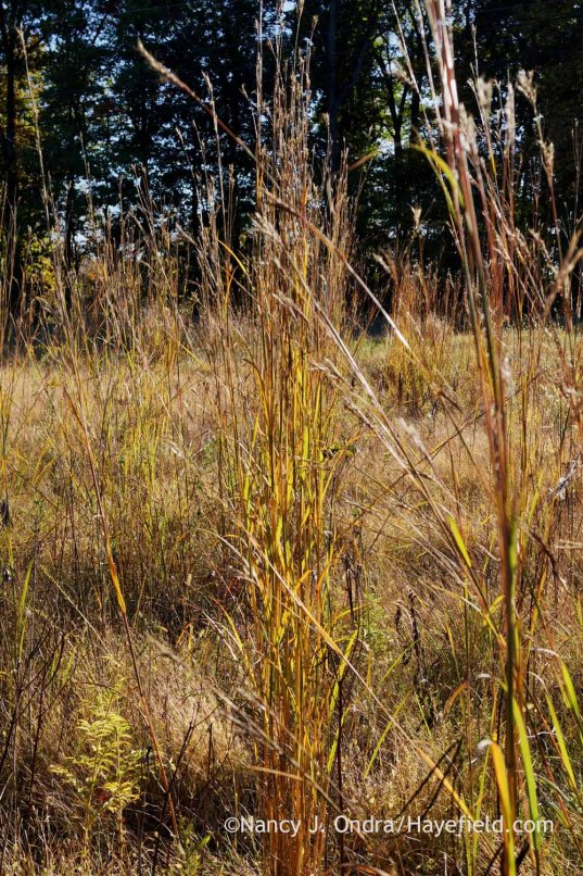 Big bluestem (Andropogon gerardii) in seed and fall color; Nancy J. Ondra at Hayefield