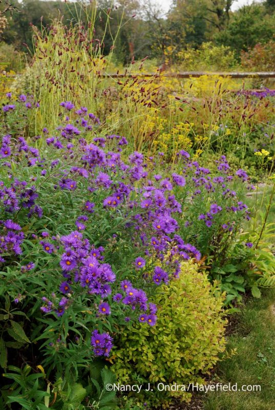'Hella Lacy' New England aster (Symphyotrichum novae-angliae) with 'Gold Mound' spirea (Spiraea) and purple Japanese burnet (Sanguisorba tenuifolia 'Purpurea'); Nancy J. Ondra at Hayefield