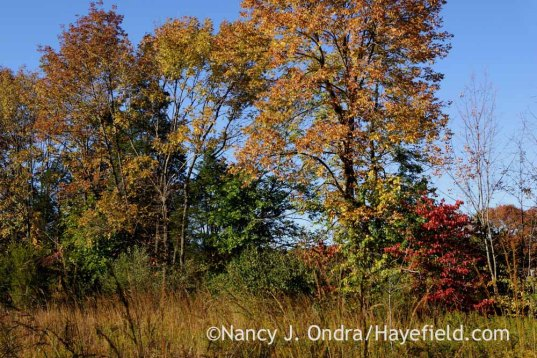 Hedgerow and meadow; Nancy J. Ondra at Hayefield