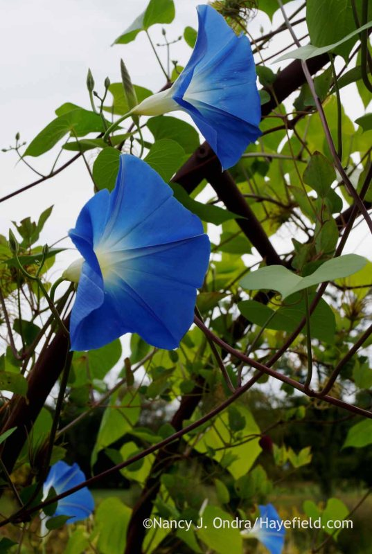 'Clarke's Heavenly Blue' morning glory (Ipomoea tricolor); Nancy J. Ondra at Hayefield